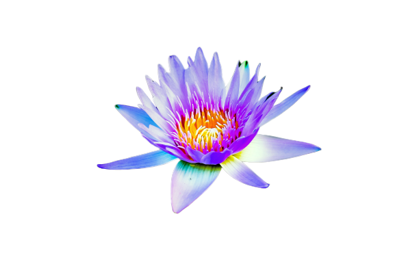 lotus flower white background